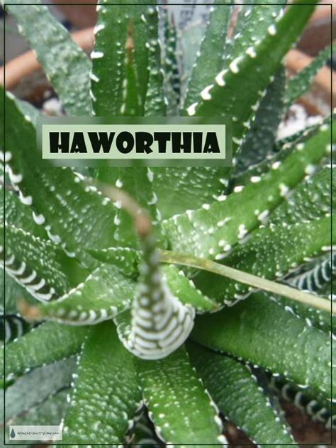 haworthia collection 3 plants easy to grow hard by haworthia the jewels of the succulent world