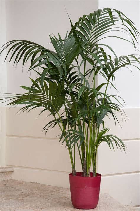 Cateracterum Palm | elegant palms for every setting costa farms