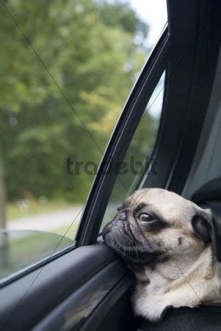 pug driving car a pug on the back seat of a driving car is looking out of the