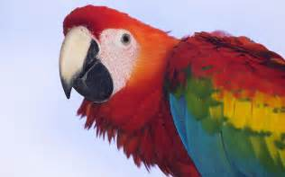 profile of a scarlet macaw wallpapers hd wallpapers