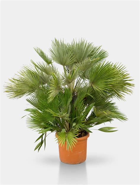 So K 246 Nnen Sie - rent a tree 28 images petticoat palme rent a tree so