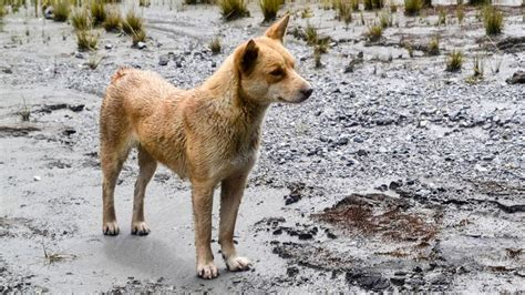 ancient dogs the world s rarest and most ancient has just been rediscovered in the tech