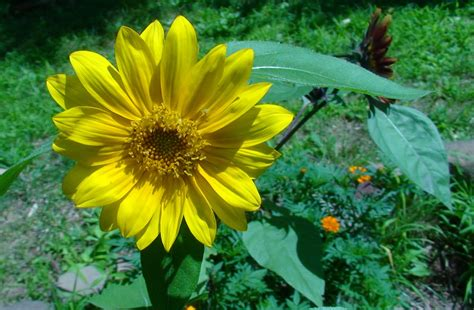 black sunflower seeds for sprouting plant black sunflower seeds images