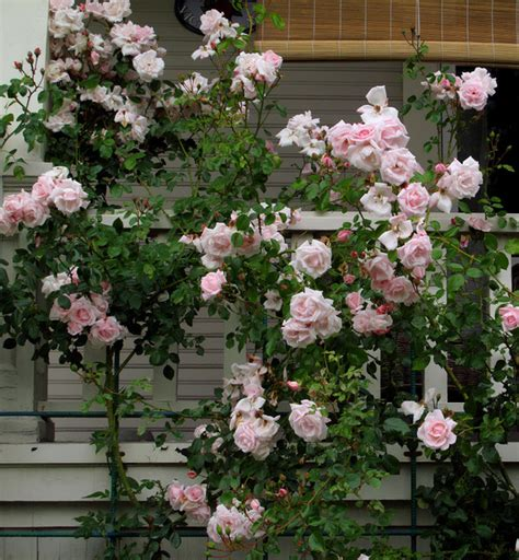 Climbing Rose Trellis Ideas New Dawn Rose Traditional Landscape