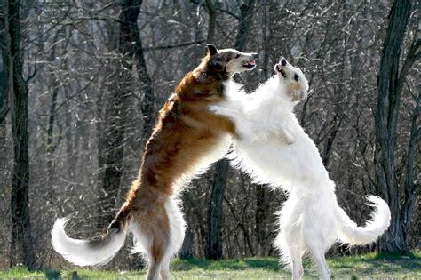 russian wolf russian wolfhound borzoi wolfhound
