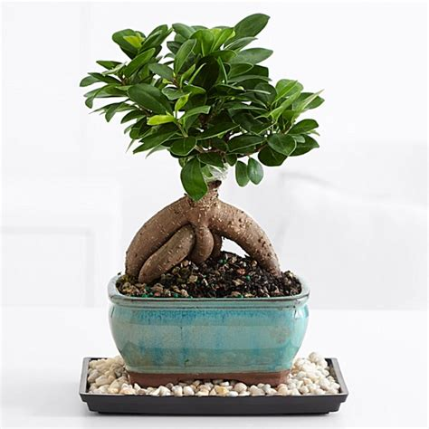 Ficus Benjamin Secco by Bonsai Trees For Sale Bonsai Tropical Plant Delivery