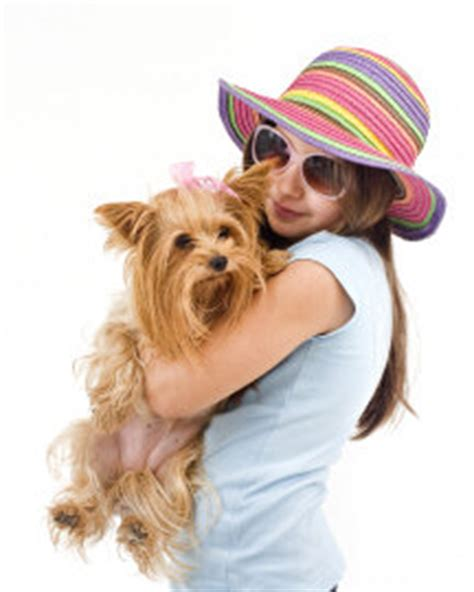 yorkie limping caring for a terrier facts you should