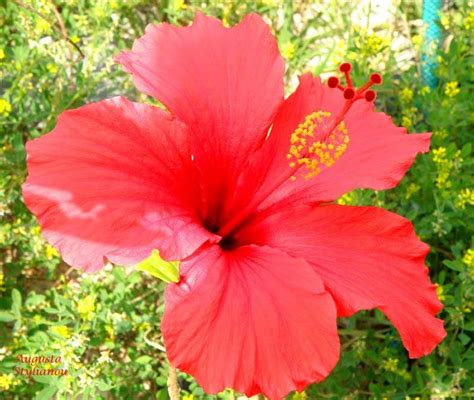 Hibicus Kuning Sembur 1 keindahan ciptaan allah kerajaan allah di langit dan di bumi