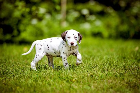 dalmatian dogs dalmatian facts pictures puppies temperament breeders price information