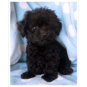 poodle puppies for sale florida puppys no one takes yet plz polyvore