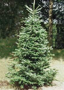 koreatanne weihnachtsbaum baumarten f 252 r den christbaumanbau waldwissen net