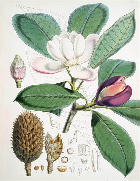 printable magnolia flowers vintage magnolia flower printable the graphics fairy