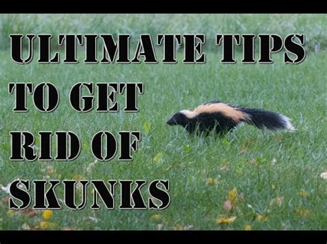 learn how to get rid of skunks fast best repellent for