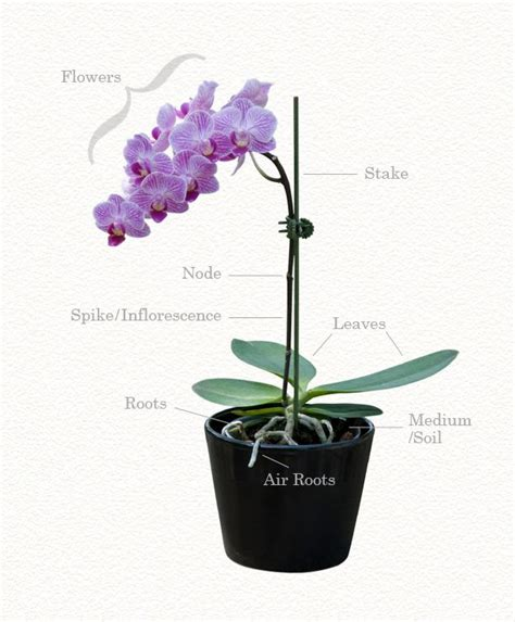 best 25 orchid care ideas only on pinterest orchids orchids garden and watering orchids