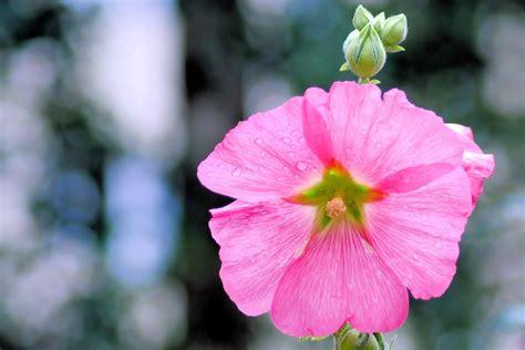 fiore di malva foto gratis malva fiore di malvarosa immagine gratis