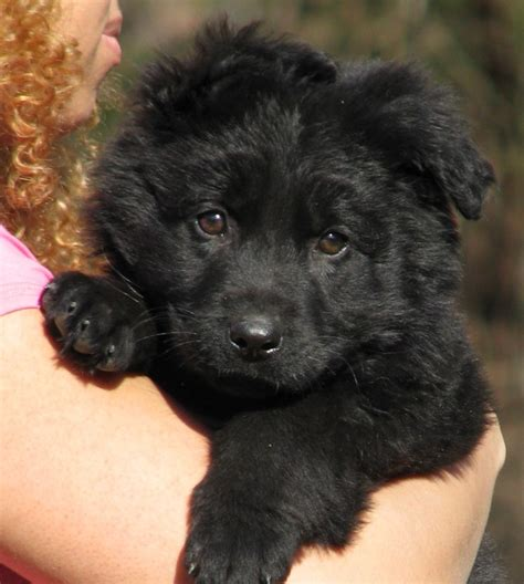 haired black and german shepherd puppies for sale black coat german shepherd for sale oasis fashion