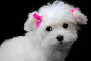 Maltese Puppies Maltese Puppies Dec 31 2012 08 02 43 Picture Gallery