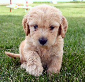 mini doodle drøbak goldendoodle info temperament puppies