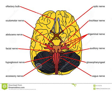 brain diagram top view the gallery for gt brain top view labeled