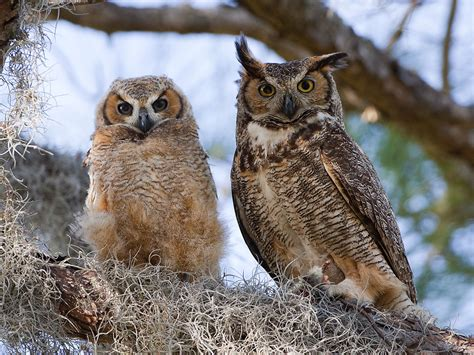 owls and osprey photos on thomasoneil com