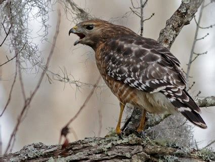 red shouldered hawk identification all about birds