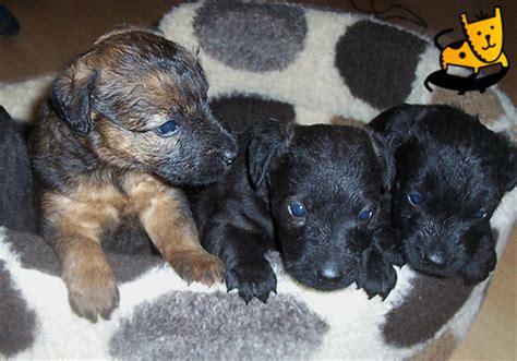 pug cross patterdale terrier patterdale terrier cross lakeland terrier