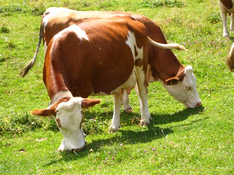 animali da cortile definizione image gallery mucche