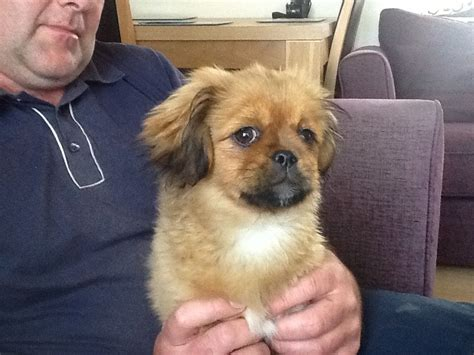 shih tzu pekingese for sale shih tzu cross pekingese puppy for sale lincoln lincolnshire pets4homes
