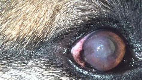 pannus in dogs cloudy eye in a german shepherd pannus