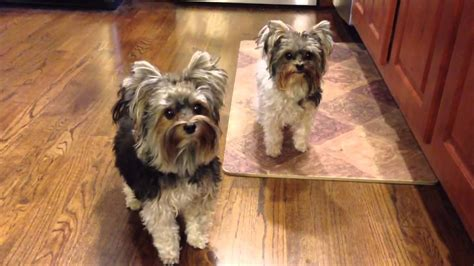 how to my yorkie to outside with biewer yorkies going outside never gets