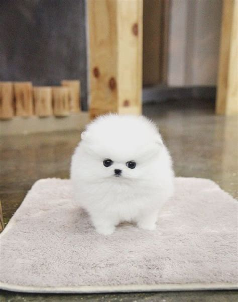 everything you need to about pomeranians everything you need to about free pomeranian puppies