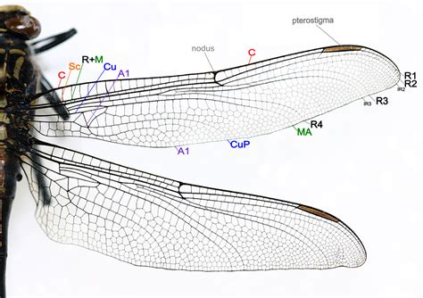 wing diagram file dragonfly wing structure png wikimedia commons