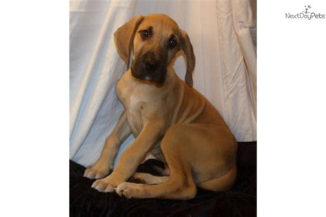 fawn great dane puppies for sale great dane puppy for sale near fayetteville carolina 69a57cc5 1321