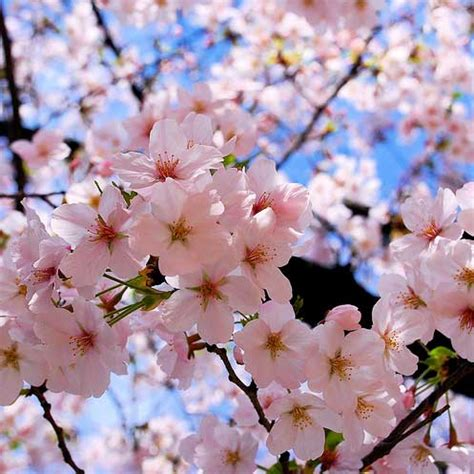 download wallpaper bunga sakura jepang bunga mariayepute