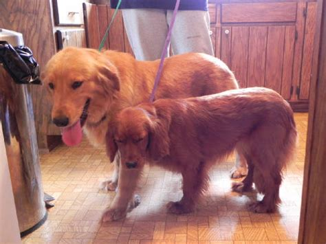 golden retriever grown miniature golden retrievers