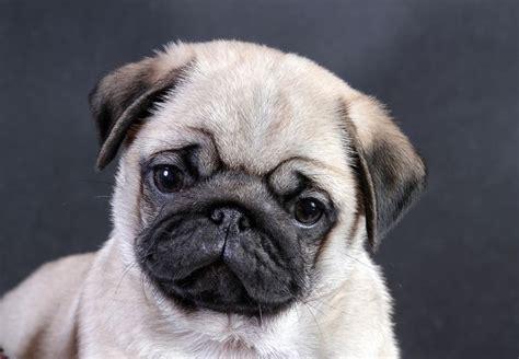 pug screen screensaver pug wallpaper screensaver background pug puppy puga puppys