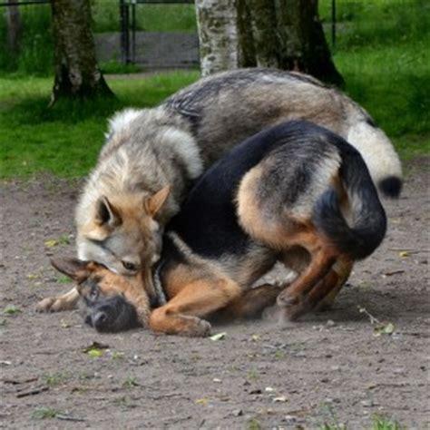 alpha breeds most alpha breed