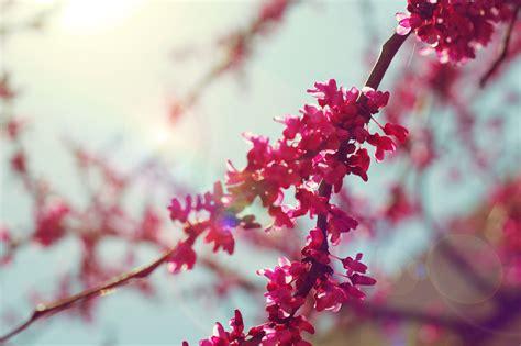 lovely like blossom cute gt beautiful bokeh cherry blossom cute flower image