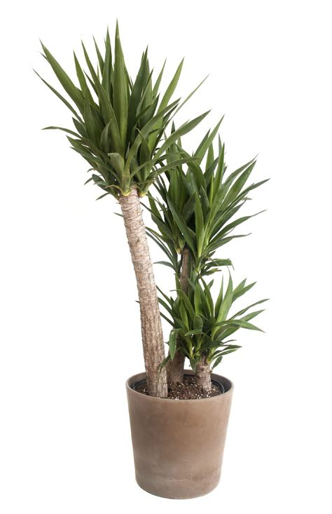 should i repot yucca repotting yucca houseplants and