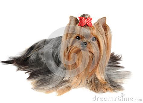yorkie white hair terrier with hair royalty free stock photography image 29846497