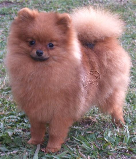 pomeranian food why your pom needs a home made diet pomeranian information care