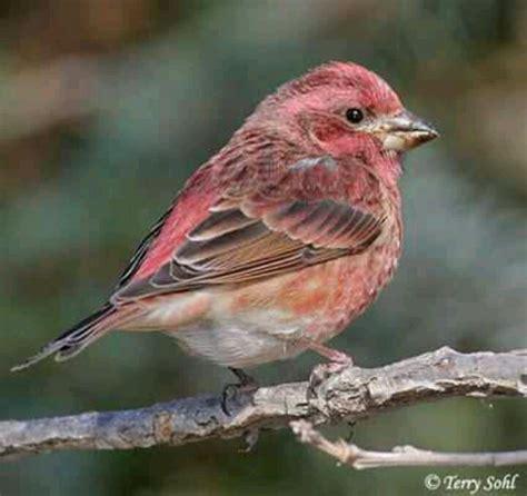 purple finch pretty bird pinterest