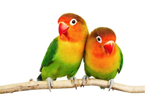 love birds images collection for free download