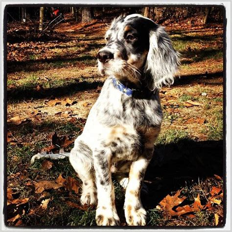 english setter dog adoption 40 best images about english setter love on pinterest