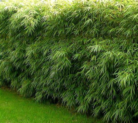 Taille Bambou Fargesia by Fargesia Rufa Bambou Fargesia Rufa Taille 40 60 Cm