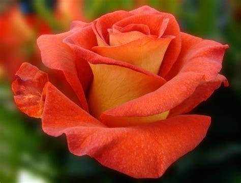 imagenes rosas grandes aromaterapia 187 la esencia de rosas
