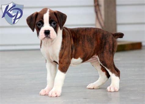 mini boxer puppies for sale maggie boxer puppies for sale in pa keystone puppies pets boxer