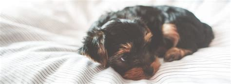 do puppies sleep through the do you an early waking puppy
