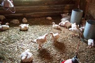 start raising chickens beginning farmers
