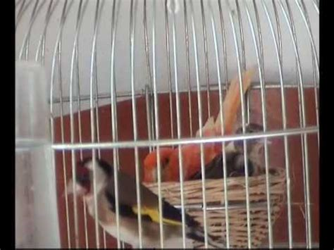 accoppiamento cardellini in gabbia cardellino x canarina